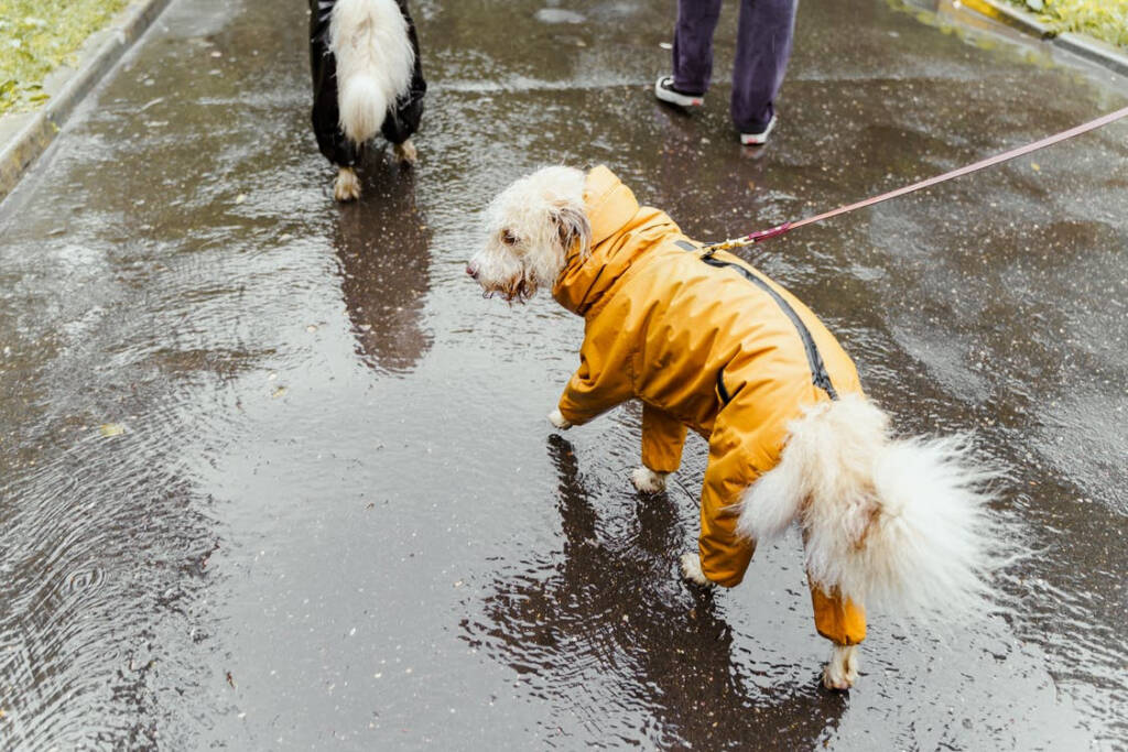 a white dog walking in a yellow hoodie
